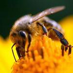увидеть пчелу во сне значение?