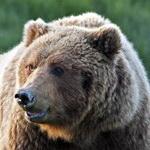 увидеть медведя во сне значение?