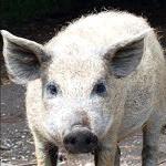 символ удачи свинья значение.
