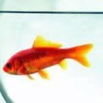символ удачи золотая рыбка значение.