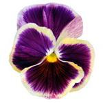 язык цветов анютины глазки значение.