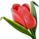 язык цветов тюльпан значение.