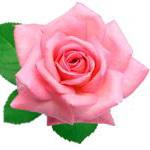 язык цветов роза значение.