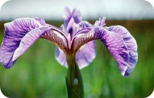 что означает цветок Ирис?
