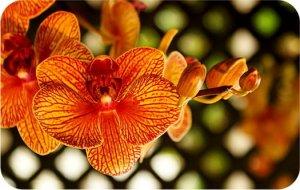 значение орхидей.