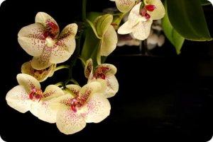 что значит цветок орхидея.