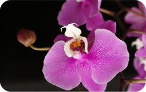 символизм орхидей.