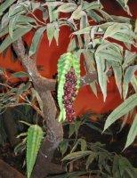 Запретный плод показан в Музее Творения.