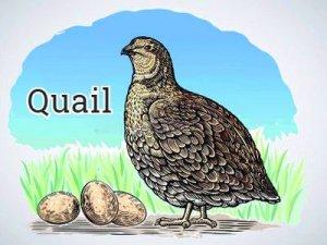 Grouse, Quail - перевод?